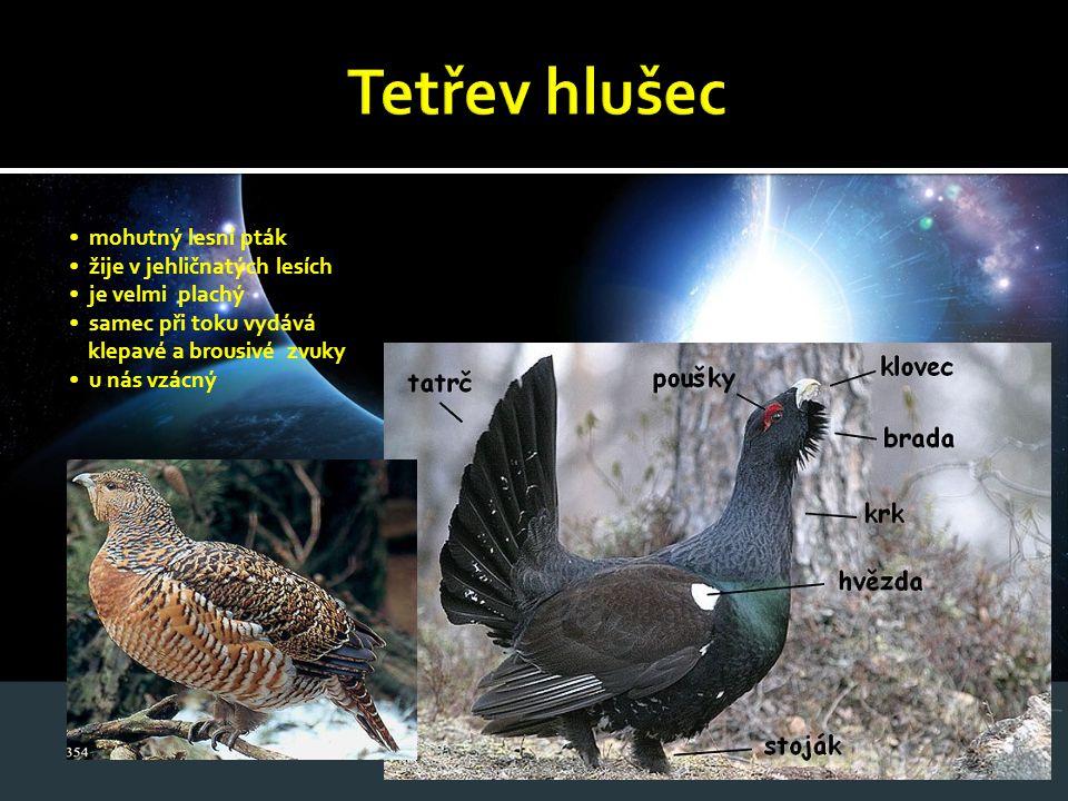 mohutný lesní pták žije v jehličnatých lesích je velmi plachý samec při toku vydává klepavé a brousivé zvuky u nás vzácný