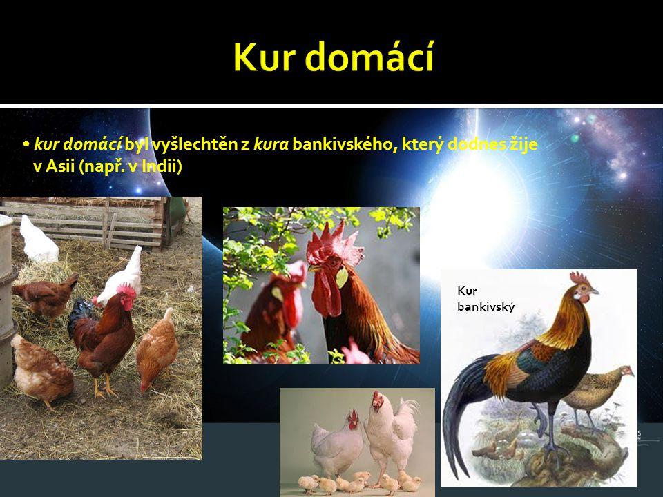 kur domácí byl vyšlechtěn z kura bankivského, který dodnes žije v Asii (např. v Indii) Kur bankivský
