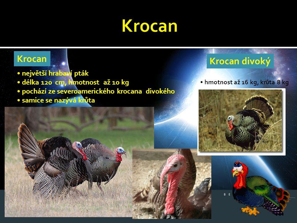 Krocan největší hrabaví pták délka 120 cm, hmotnost až 10 kg pochází ze severoamerického krocana divokého samice se nazývá krůta Krocan divoký hmotnos