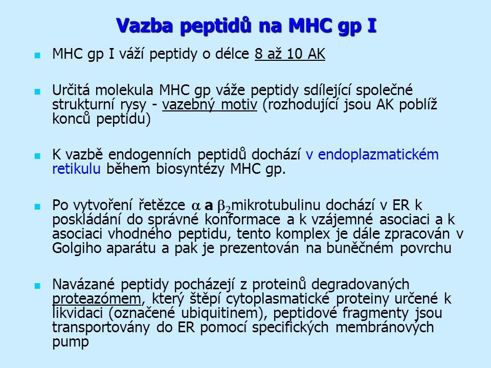 Vazba peptidů na MHC gp I MHC gp I váží peptidy o délce 8 až 10 AK Určitá molekula MHC gp váže peptidy sdílející společné strukturní rysy - vazebný motiv (rozhodující jsou AK poblíž konců peptidu) K vazbě endogenních peptidů dochází v endoplazmatickém retikulu během biosyntézy MHC gp.