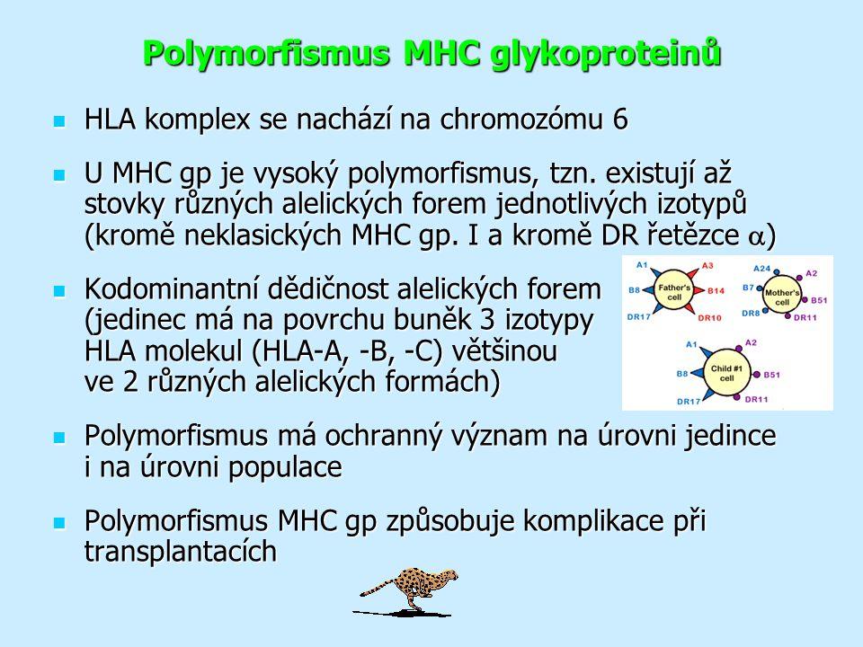 Polymorfismus MHC glykoproteinů HLA komplex se nachází na chromozómu 6 HLA komplex se nachází na chromozómu 6 U MHC gp je vysoký polymorfismus, tzn.