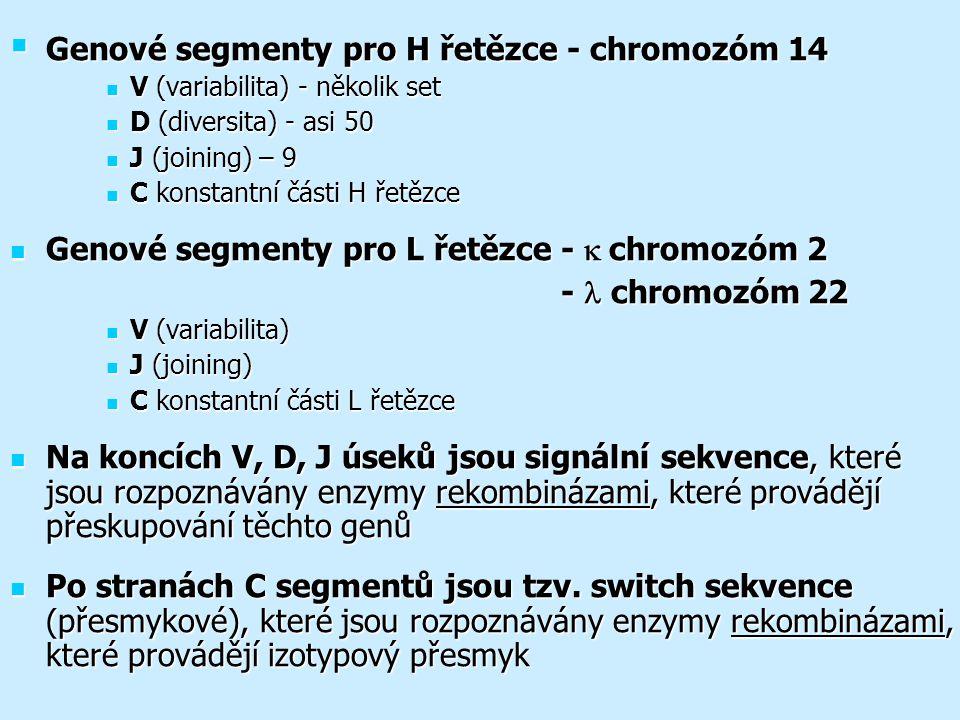  Genové segmenty pro H řetězce - chromozóm 14 V (variabilita) - několik set V (variabilita) - několik set D (diversita) - asi 50 D (diversita) - asi 50 J (joining) – 9 J (joining) – 9 C konstantní části H řetězce C konstantní části H řetězce Genové segmenty pro L řetězce -  chromozóm 2 Genové segmenty pro L řetězce -  chromozóm 2 - chromozóm 22 - chromozóm 22 V (variabilita) V (variabilita) J (joining) J (joining) C konstantní části L řetězce C konstantní části L řetězce Na koncích V, D, J úseků jsou signální sekvence, které jsou rozpoznávány enzymy rekombinázami, které provádějí přeskupování těchto genů Na koncích V, D, J úseků jsou signální sekvence, které jsou rozpoznávány enzymy rekombinázami, které provádějí přeskupování těchto genů Po stranách C segmentů jsou tzv.