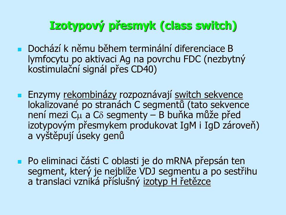 Izotypový přesmyk (class switch) Dochází k němu během terminální diferenciace B lymfocytu po aktivaci Ag na povrchu FDC (nezbytný kostimulační signál přes CD40) Dochází k němu během terminální diferenciace B lymfocytu po aktivaci Ag na povrchu FDC (nezbytný kostimulační signál přes CD40) Enzymy rekombinázy rozpoznávají switch sekvence lokalizované po stranách C segmentů (tato sekvence není mezi C  a C  segmenty – B buňka může před izotypovým přesmykem produkovat IgM i IgD zároveň) a vyštěpují úseky genů Enzymy rekombinázy rozpoznávají switch sekvence lokalizované po stranách C segmentů (tato sekvence není mezi C  a C  segmenty – B buňka může před izotypovým přesmykem produkovat IgM i IgD zároveň) a vyštěpují úseky genů Po eliminaci části C oblasti je do mRNA přepsán ten segment, který je nejblíže VDJ segmentu a po sestřihu a translaci vzniká příslušný izotyp H řetězce Po eliminaci části C oblasti je do mRNA přepsán ten segment, který je nejblíže VDJ segmentu a po sestřihu a translaci vzniká příslušný izotyp H řetězce