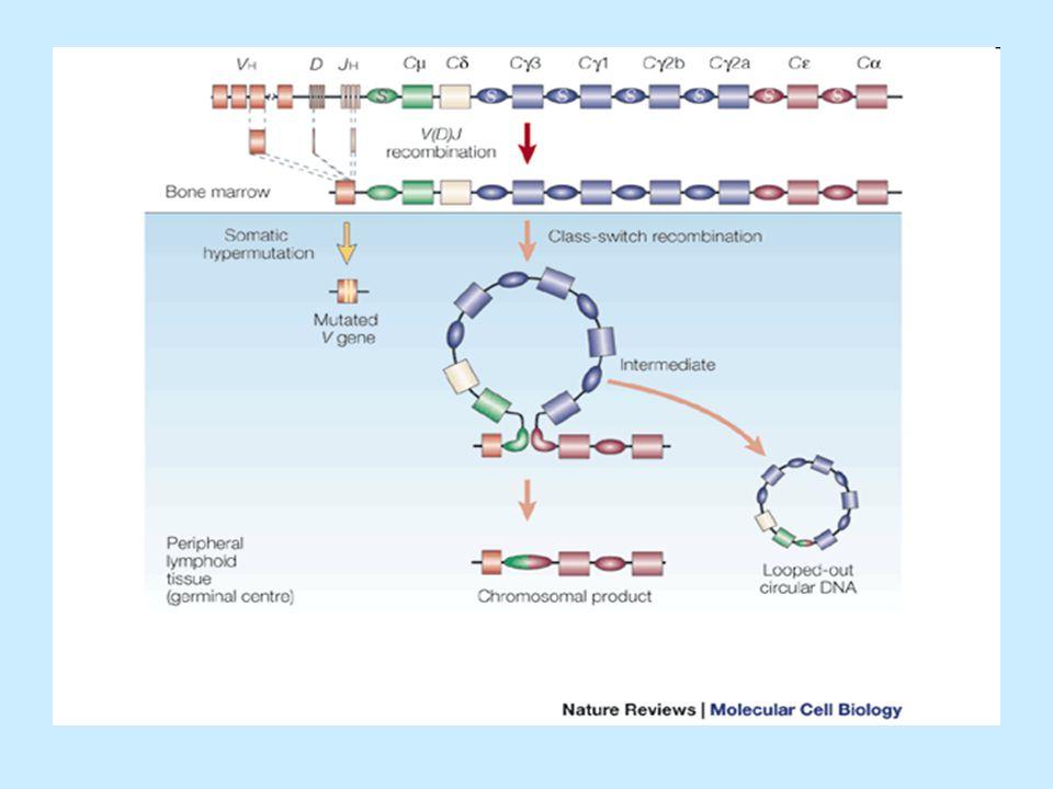 Izotypový přesmyk (class switch) - pokračování Cytokiny regulují k jakému izotypovému přesmyku dojde: Cytokiny regulují k jakému izotypovému přesmyku dojde: IL-4 stimuluje přesmyk na IgE a IgG1, IgG4 IL-4 stimuluje přesmyk na IgE a IgG1, IgG4 TGF  stimuluje přesmyk na IgG2 a IgA TGF  stimuluje přesmyk na IgG2 a IgA