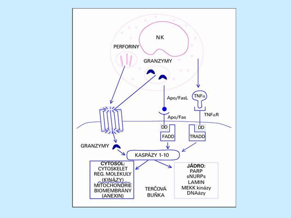 ADCC ADCC (antibody-dependent cellular cytotoxicity)