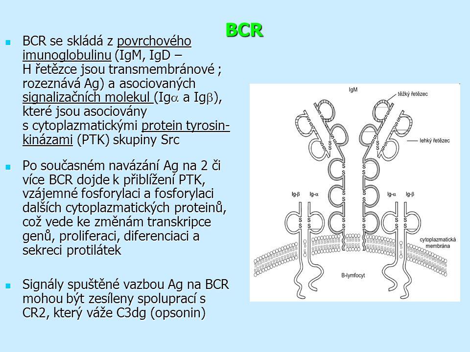 BCR BCR se skládá z povrchového imunoglobulinu (IgM, IgD – H řetězce jsou transmembránové ; rozeznává Ag) a asociovaných signalizačních molekul (Ig  a Ig  ), které jsou asociovány s cytoplazmatickými protein tyrosin- kinázami (PTK) skupiny Src BCR se skládá z povrchového imunoglobulinu (IgM, IgD – H řetězce jsou transmembránové ; rozeznává Ag) a asociovaných signalizačních molekul (Ig  a Ig  ), které jsou asociovány s cytoplazmatickými protein tyrosin- kinázami (PTK) skupiny Src Po současném navázání Ag na 2 či více BCR dojde k přiblížení PTK, vzájemné fosforylaci a fosforylaci dalších cytoplazmatických proteinů, což vede ke změnám transkripce genů, proliferaci, diferenciaci a sekreci protilátek Po současném navázání Ag na 2 či více BCR dojde k přiblížení PTK, vzájemné fosforylaci a fosforylaci dalších cytoplazmatických proteinů, což vede ke změnám transkripce genů, proliferaci, diferenciaci a sekreci protilátek Signály spuštěné vazbou Ag na BCR mohou být zesíleny spoluprací s CR2, který váže C3dg (opsonin) Signály spuštěné vazbou Ag na BCR mohou být zesíleny spoluprací s CR2, který váže C3dg (opsonin)