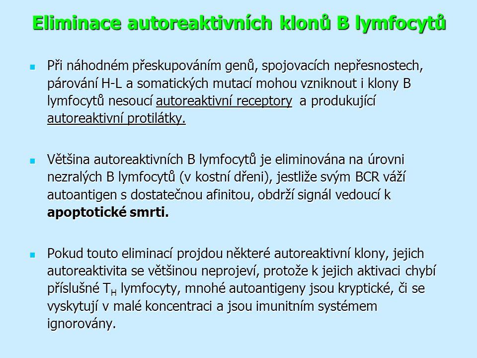 Eliminace autoreaktivních klonů B lymfocytů Při náhodném přeskupováním genů, spojovacích nepřesnostech, párování H-L a somatických mutací mohou vzniknout i klony B lymfocytů nesoucí autoreaktivní receptory a produkující autoreaktivní protilátky.