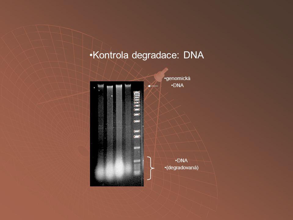 genomická DNA (degradovaná) Kontrola degradace: DNA