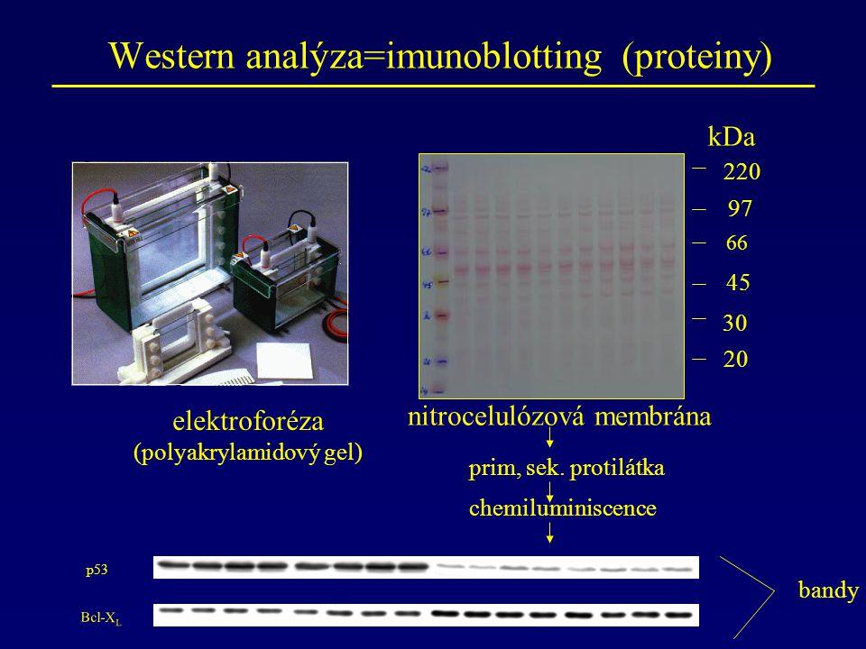 Western analýza=imunoblotting (proteiny) elektroforéza (polyakrylamidový gel) p53 Bcl-X L nitrocelulózová membrána kDa 66 45 97 bandy prim, sek.