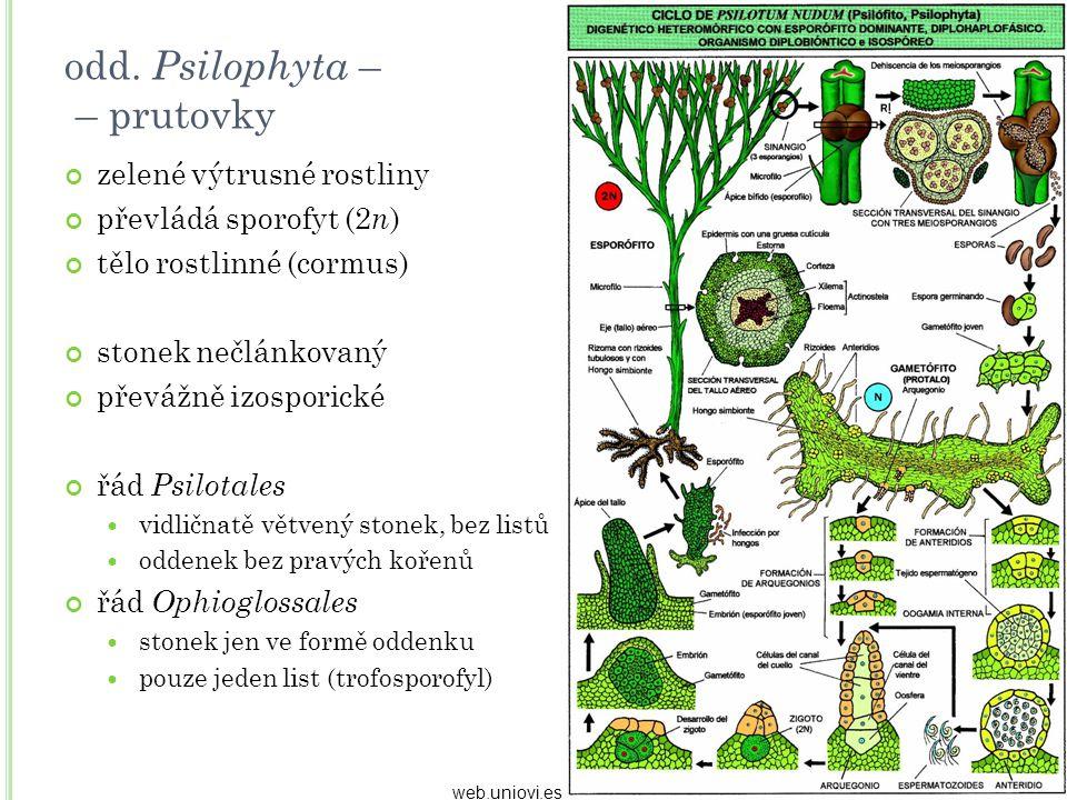 odd. Psilophyta – – prutovky zelené výtrusné rostliny převládá sporofyt (2 n ) tělo rostlinné (cormus) stonek nečlánkovaný převážně izosporické řád Ps
