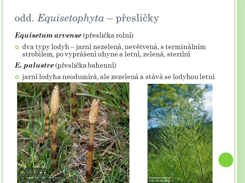 Equisetum arvense (přeslička rolní) dva typy lodyh – jarní nezelená, nevětvená, s terminálním strobilem, po vyprášení uhyne a letní, zelená, sterilní