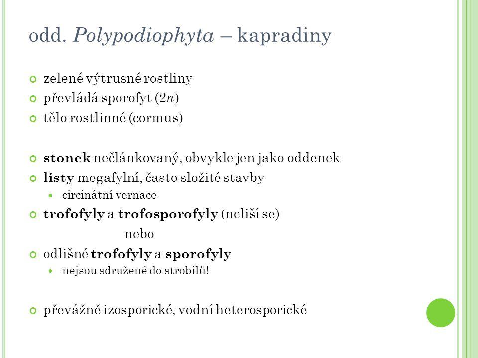 odd. Polypodiophyta – kapradiny zelené výtrusné rostliny převládá sporofyt (2 n ) tělo rostlinné (cormus) stonek nečlánkovaný, obvykle jen jako oddene