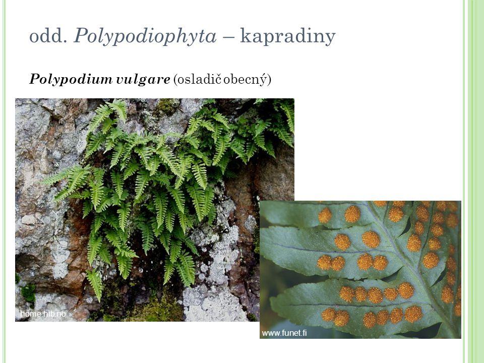 odd. Polypodiophyta – kapradiny Polypodium vulgare (osladič obecný) home.hib.no www.funet.fi