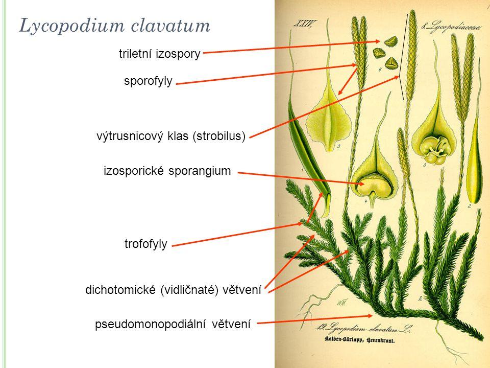 pseudomonopodiální větvení dichotomické (vidličnaté) větvení trofofyly výtrusnicový klas (strobilus) sporofyly izosporické sporangium triletní izospor
