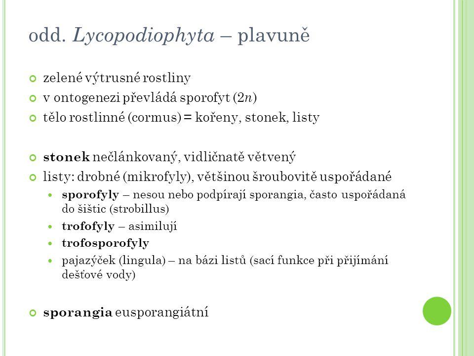 odd. Lycopodiophyta – plavuně zelené výtrusné rostliny v ontogenezi převládá sporofyt (2 n ) tělo rostlinné (cormus) = kořeny, stonek, listy stonek ne
