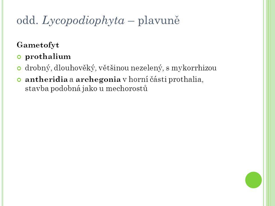listy bez linguly sporangia izosporická Lycopodium clavatum (plavuň vidlačka) pseudomonopodiálně větvený stonek silnější větve rostou horizontálně v jednom směru a slabší odbočují ve směru vertikálním a vidličnatě se větví trofofyly čárkovitě kopinaté sporofyly uspořádané do terminálních výtrusnicových klasů ( strobilů ) sporangia na svrchní straně sporofylů triletní izospory třída Lycopodiopsida