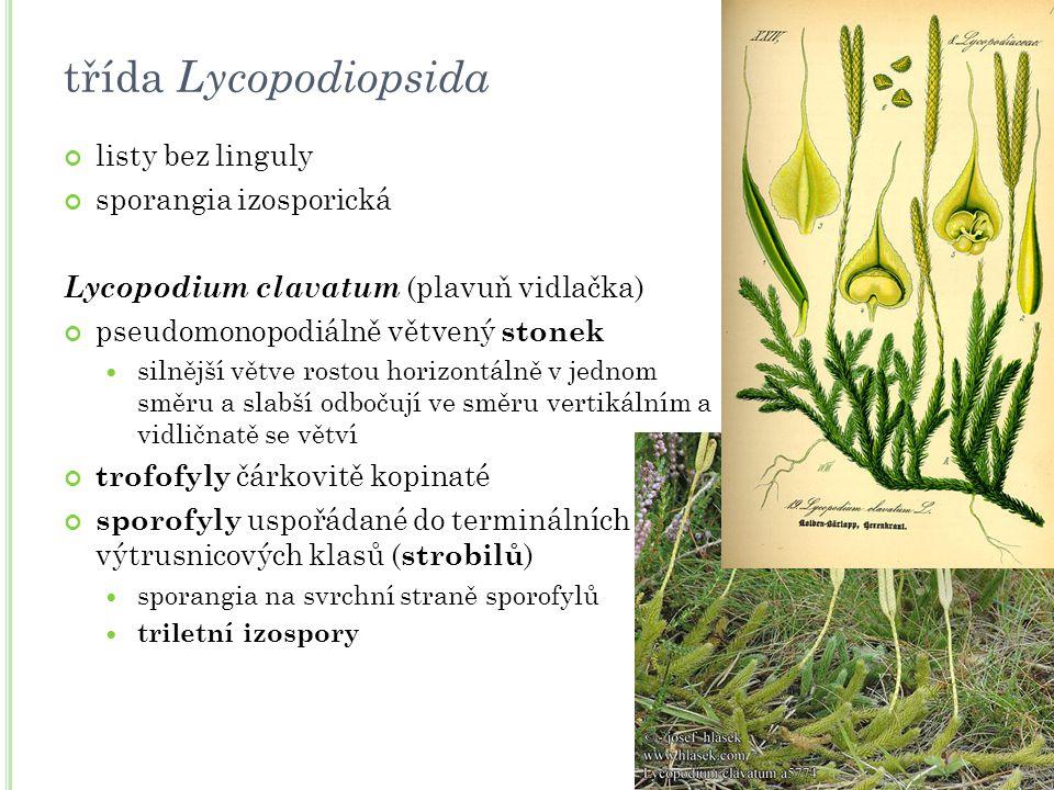listy bez linguly sporangia izosporická Lycopodium clavatum (plavuň vidlačka) pseudomonopodiálně větvený stonek silnější větve rostou horizontálně v j