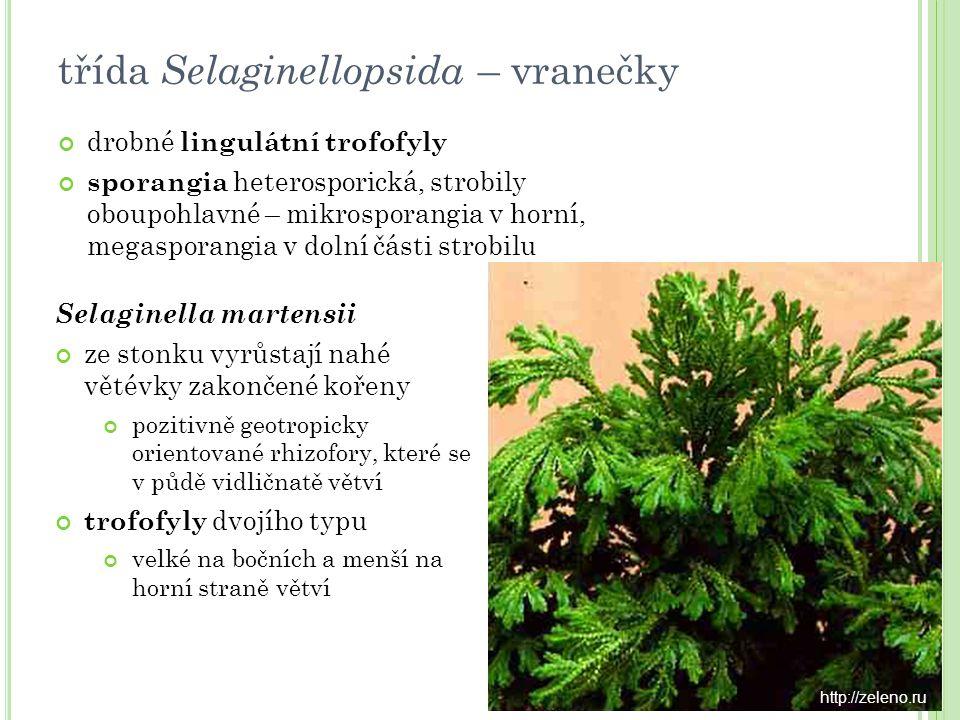 Lepidodendron fosilní, stromovitý vzrůst, kmeny až 40 m vysoké a 5 m silné, vidličnatě větvené v horní části trofofyly čárkovité, lingulátní, spirálovitě uspořádané, po jejich opadnutí zbyly na kmenu výrazné kosočtverečné jizvy na konci větví krátké strobily třída Isoëtopsida – šídlatky © Bob Spicer darkwing.uoregon.edu