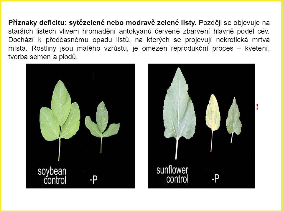 ! Příznaky deficitu: sytězelené nebo modravě zelené listy. Později se objevuje na starších listech vlivem hromadění antokyanů červené zbarvení hlavně