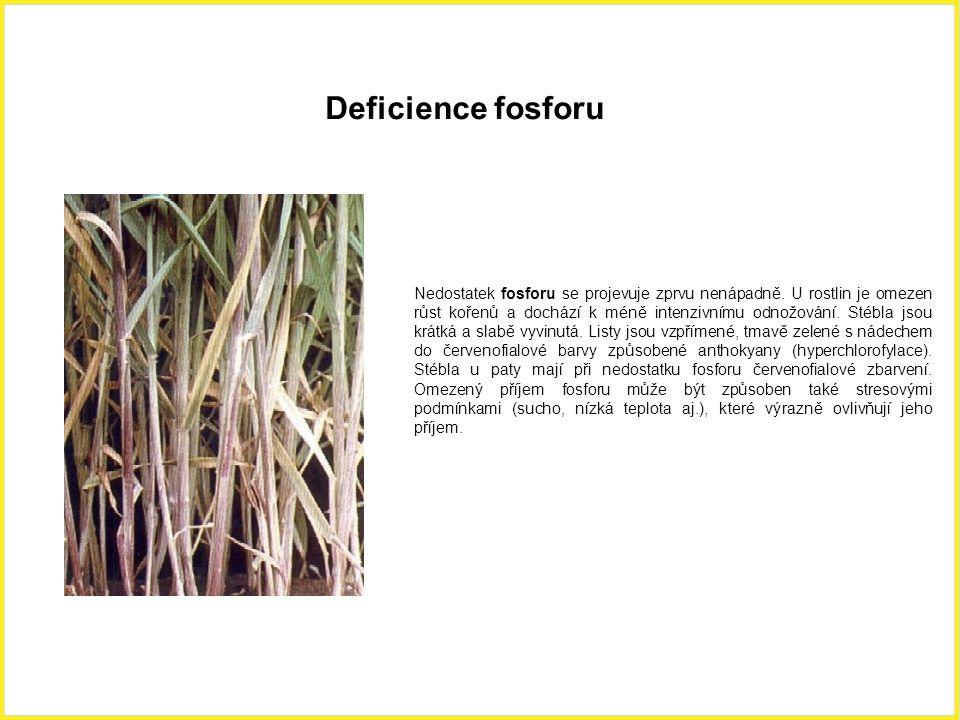Deficience fosforu Nedostatek fosforu se projevuje zprvu nenápadně. U rostlin je omezen růst kořenů a dochází k méně intenzivnímu odnožování. Stébla j