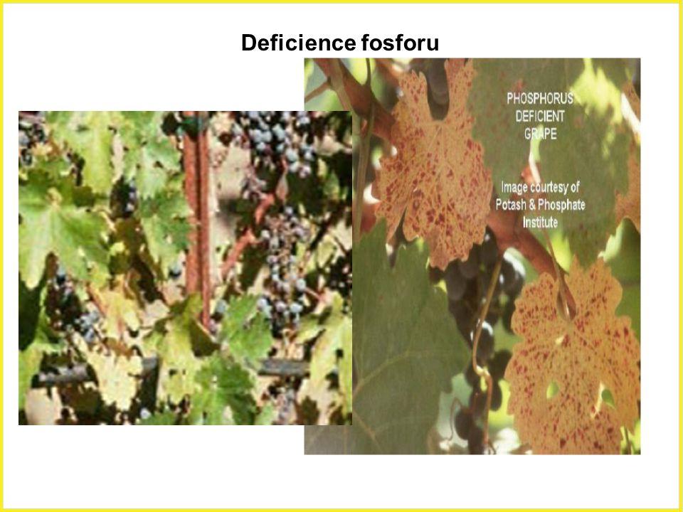 Deficience fosforu