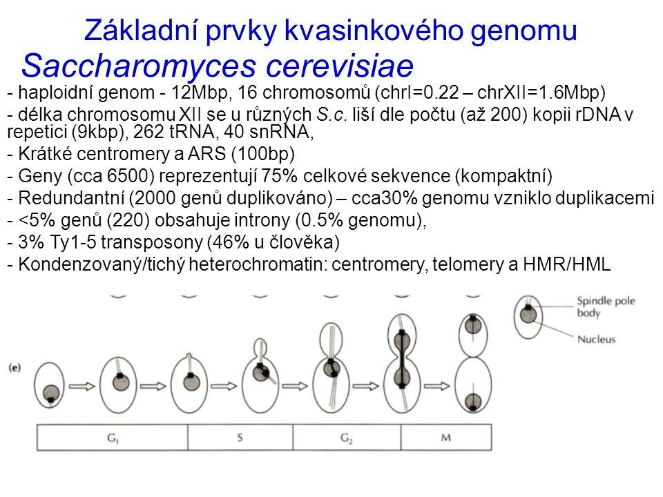 Saccharomyces cerevisiae - haploidní genom - 12Mbp, 16 chromosomů (chrI=0.22 – chrXII=1.6Mbp) - délka chromosomu XII se u různých S.c. liší dle počtu