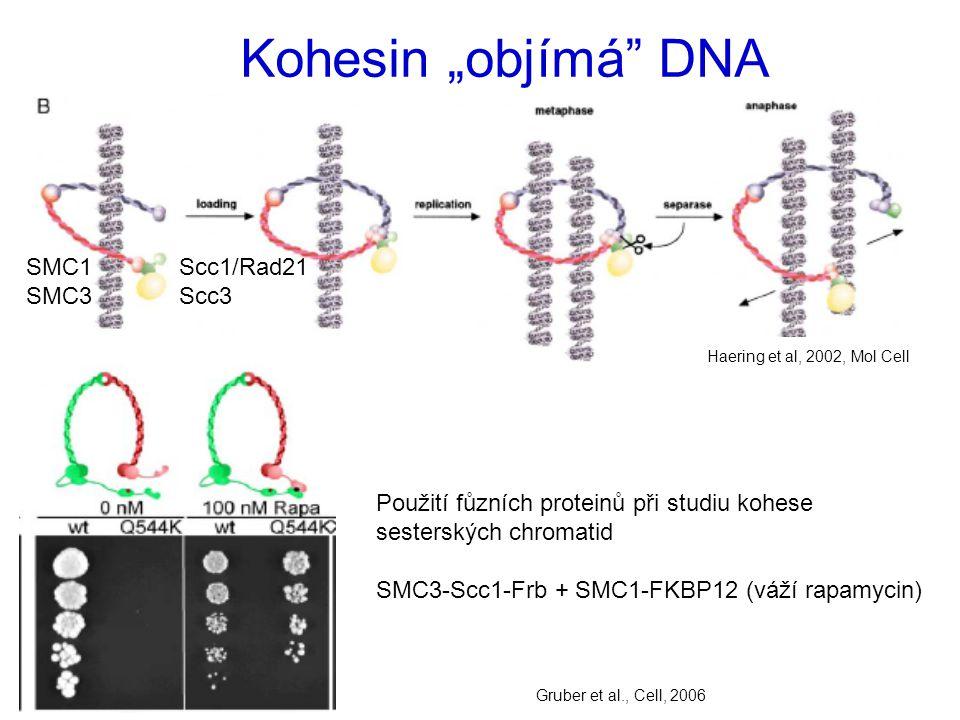 """Kohesin """"objímá DNA Haering et al, 2002, Mol Cell SMC1 Scc1/Rad21 SMC3 Scc3 Použití fůzních proteinů při studiu kohese sesterských chromatid SMC3-Scc1-Frb + SMC1-FKBP12 (váží rapamycin) Gruber et al., Cell, 2006"""