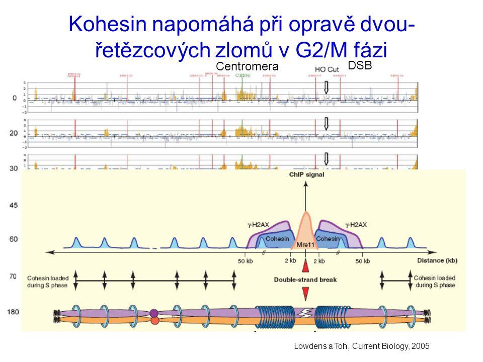 Kohesin napomáhá při opravě dvou- řetězcových zlomů v G2/M fázi Lowdens a Toh, Current Biology, 2005 Centromera DSB