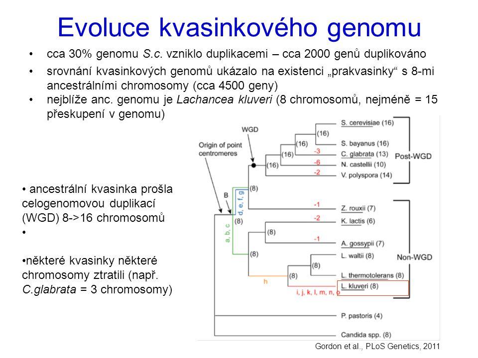 """Evoluce kvasinkového genomu cca 30% genomu S.c. vzniklo duplikacemi – cca 2000 genů duplikováno srovnání kvasinkových genomů ukázalo na existenci """"pra"""
