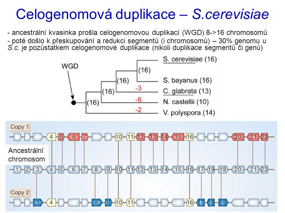 - ancestrální kvasinka prošla celogenomovou duplikací (WGD) 8->16 chromosomů - poté došlo k přeskupování a redukci segmentů (i chromosomů) – 30% genomu u S.c.