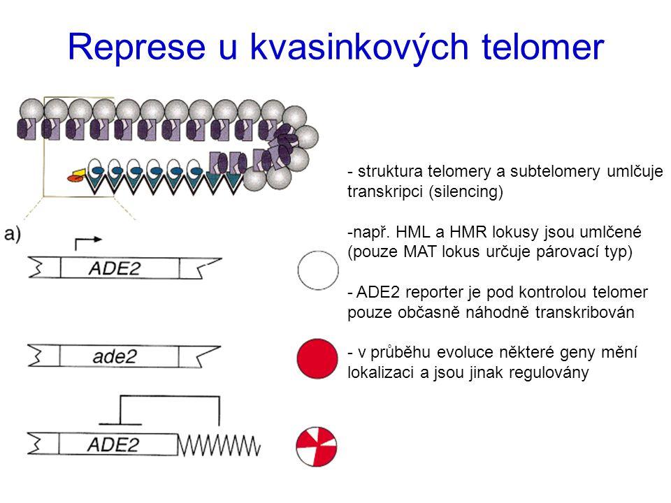Represe u kvasinkových telomer - struktura telomery a subtelomery umlčuje transkripci (silencing) -např. HML a HMR lokusy jsou umlčené (pouze MAT loku
