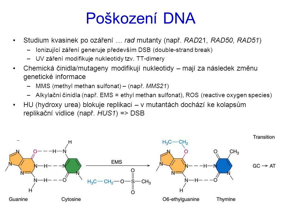 Poškození DNA Studium kvasinek po ozáření … rad mutanty (např. RAD21, RAD50, RAD51) –Ionizující záření generuje především DSB (double-strand break) –U