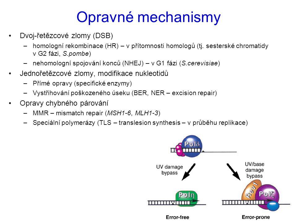 Opravné mechanismy Dvoj-řetězcové zlomy (DSB) –homologní rekombinace (HR) – v přítomnosti homologů (tj. sesterské chromatidy v G2 fázi, S.pombe) –neho
