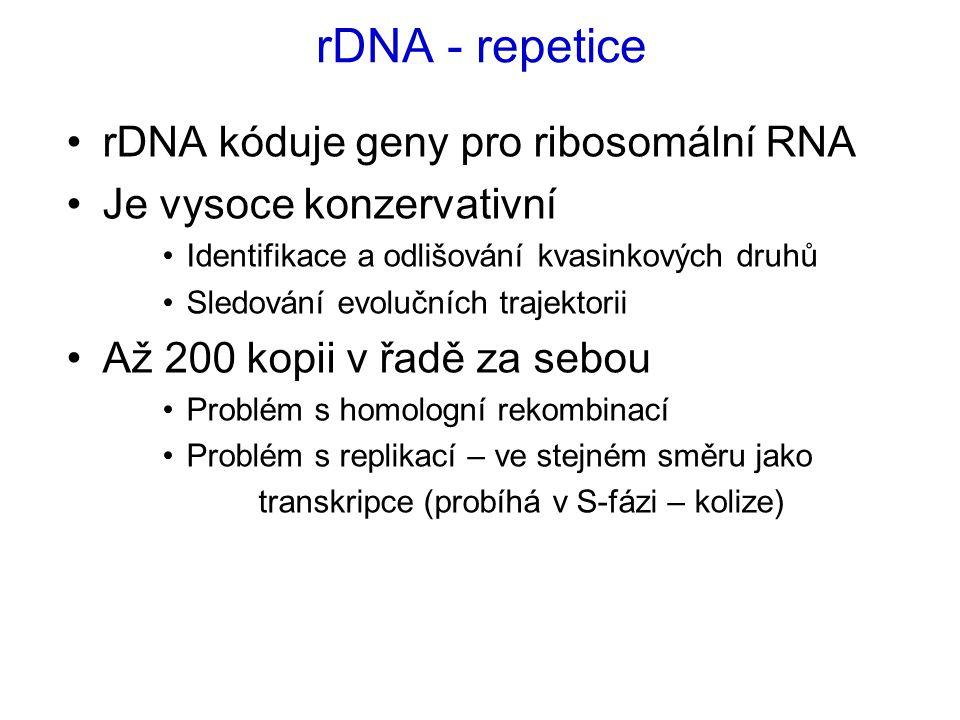 rDNA - repetice rDNA kóduje geny pro ribosomální RNA Je vysoce konzervativní Identifikace a odlišování kvasinkových druhů Sledování evolučních trajektorii Až 200 kopii v řadě za sebou Problém s homologní rekombinací Problém s replikací – ve stejném směru jako transkripce (probíhá v S-fázi – kolize)