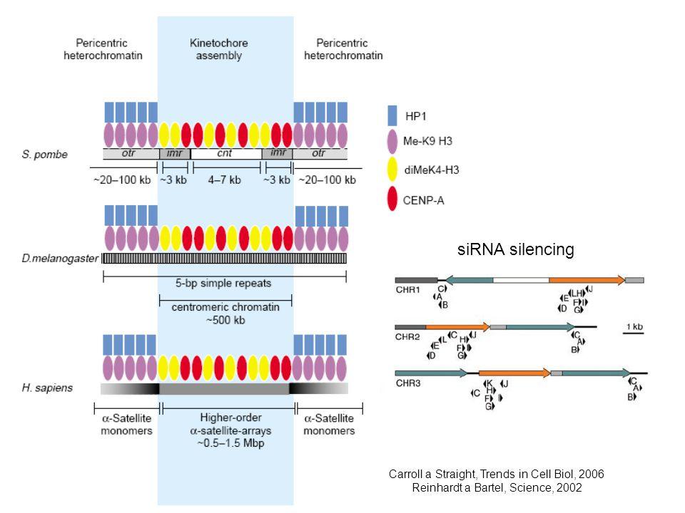 Carroll a Straight, Trends in Cell Biol, 2006 Reinhardt a Bartel, Science, 2002 siRNA silencing