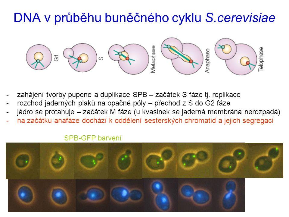 -zahájení tvorby pupene a duplikace SPB – začátek S fáze tj.
