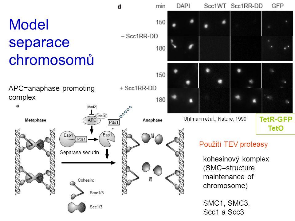 Model separace chromosomů APC=anaphase promoting complex Uhlmann et al., Nature, 1999 kohesinový komplex (SMC=structure maintenance of chromosome) SMC1, SMC3, Scc1 a Scc3 Separasa-securin TetR-GFP TetO Použití TEV proteasy