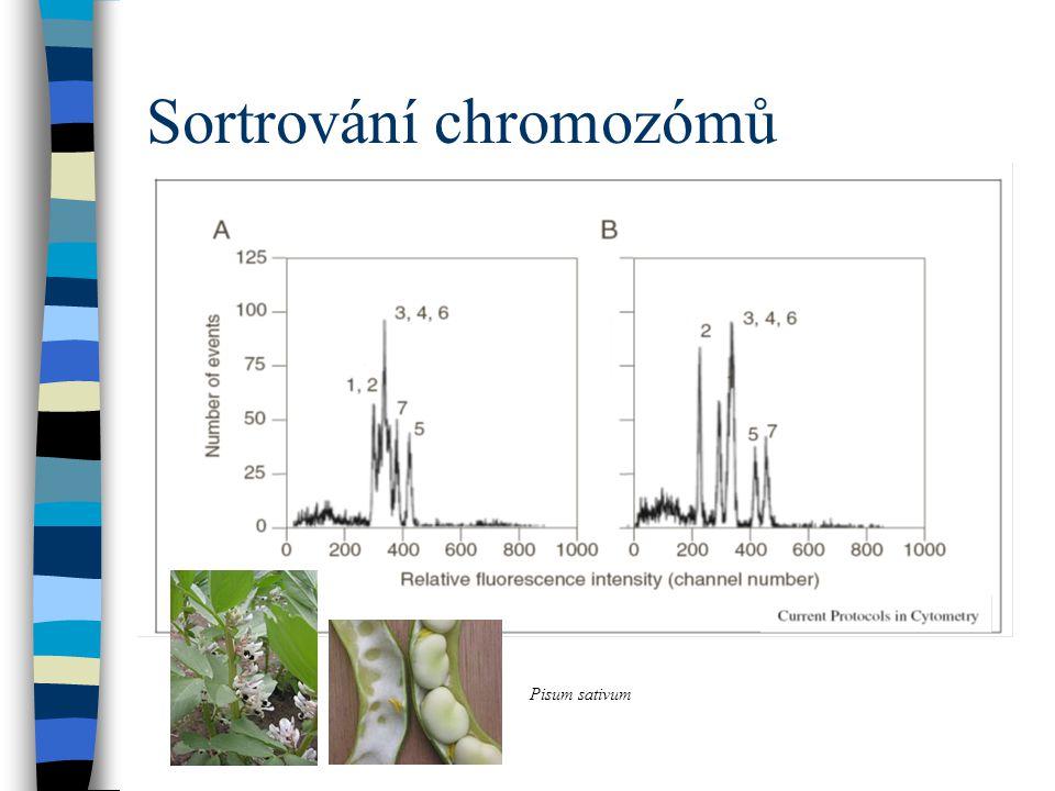 Sortrování chromozómů Pisum sativum