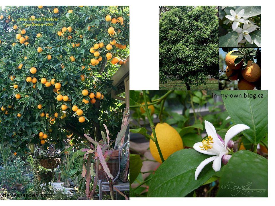 in-my-own.blog.cz arbolesornamentales.es davesgarden.com