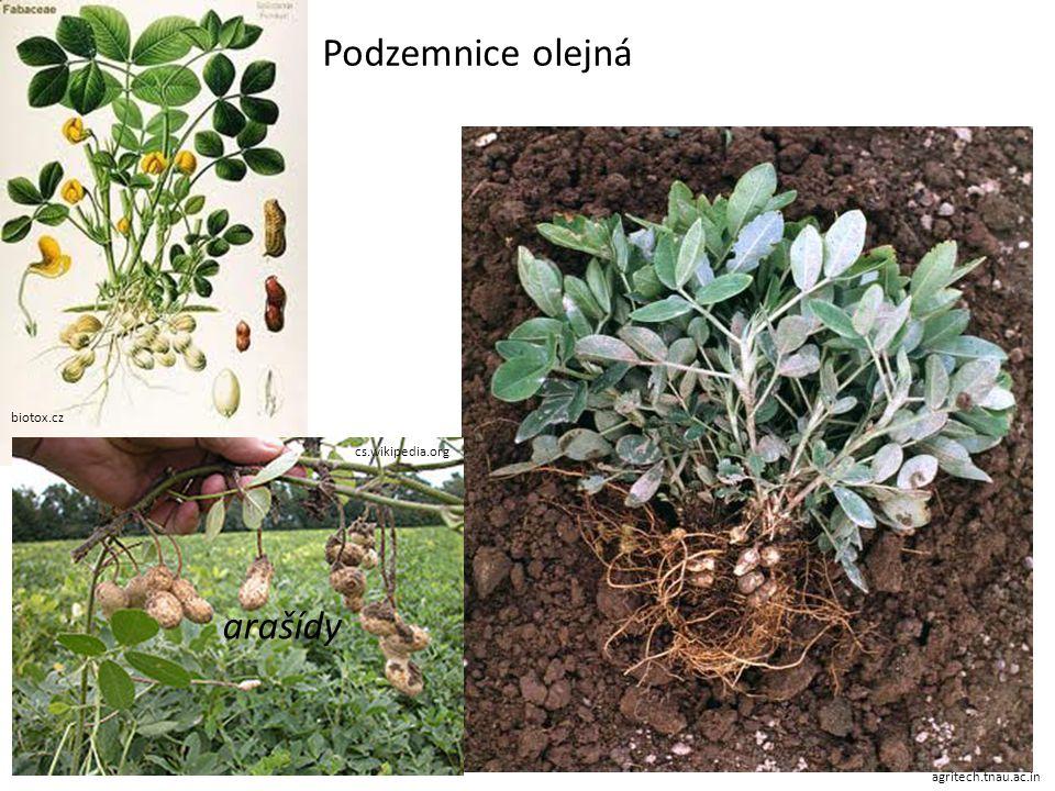 biotox.cz agritech.tnau.ac.in cs.wikipedia.org Podzemnice olejná arašídy