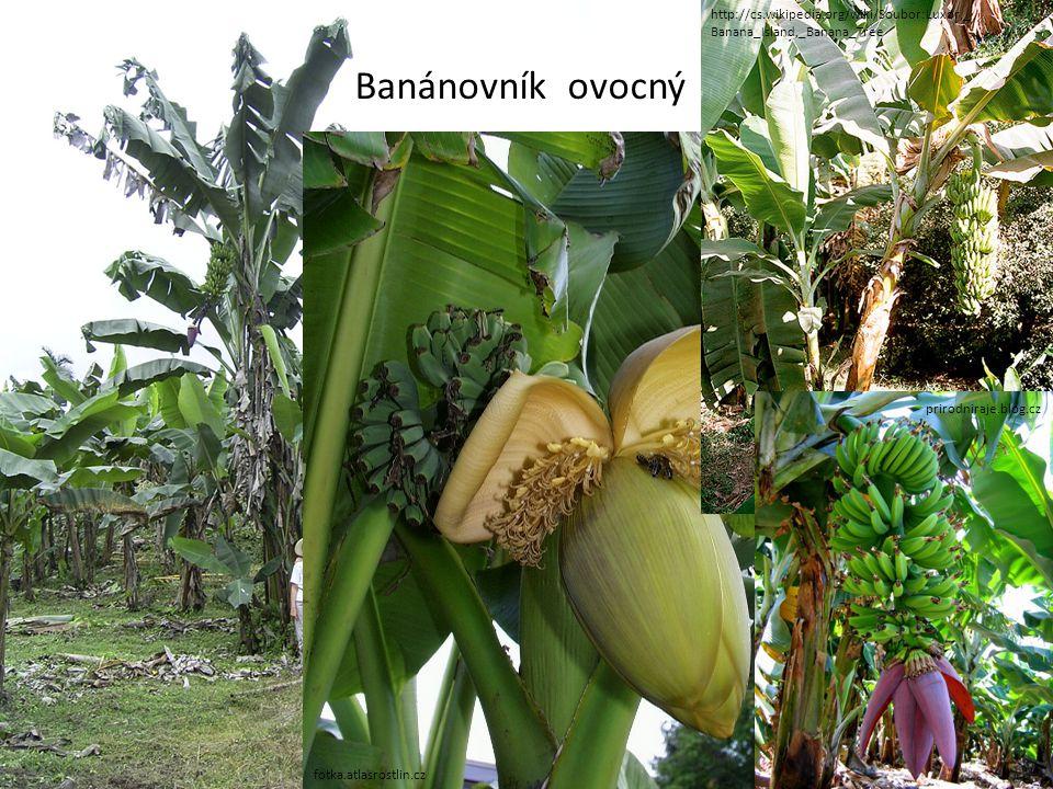 fotka.atlasrostlin.cz http://cs.wikipedia.org/wiki/Soubor:Luxor,_ Banana_Island,_Banana_Tree prirodniraje.blog.cz Banánovník ovocný