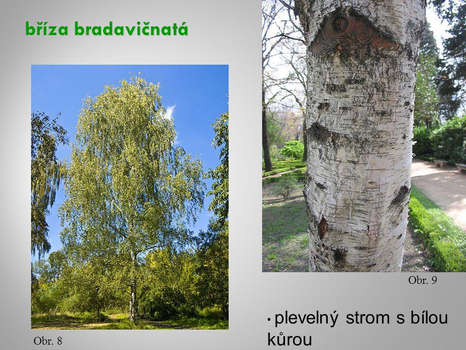 bříza bradavičnatá Obr. 8 Obr. 9 plevelný strom s bílou kůrou