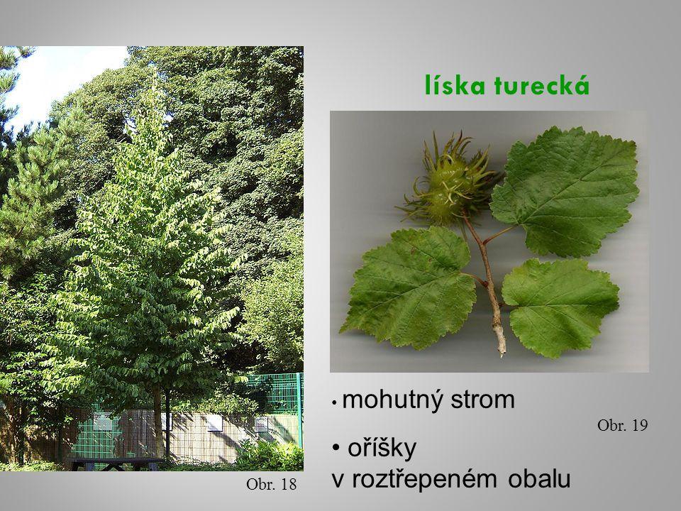 Obr. 18 Obr. 19 mohutný strom oříšky v roztřepeném obalu
