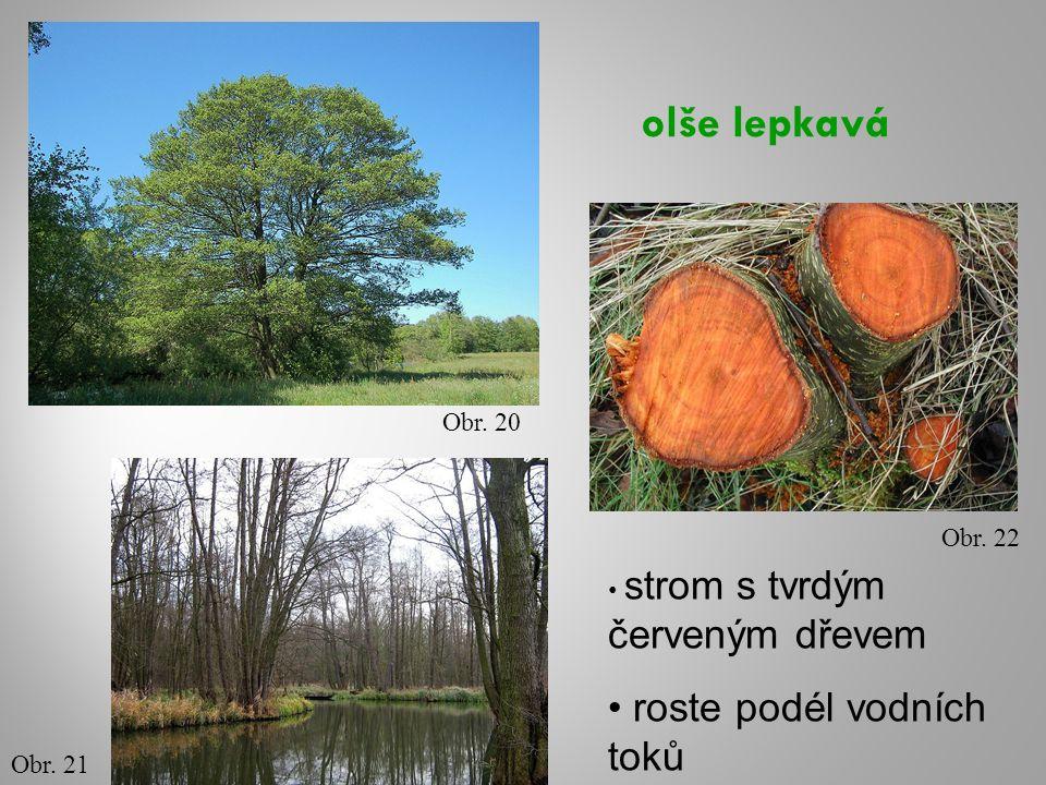 olše lepkavá Obr. 20 Obr. 21 Obr. 22 strom s tvrdým červeným dřevem roste podél vodních toků