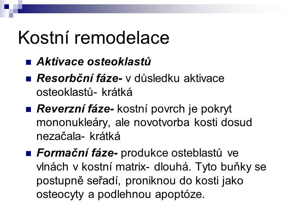 Kostní remodelace Aktivace osteoklastů Resorbční fáze- v důsledku aktivace osteoklastů- krátká Reverzní fáze- kostní povrch je pokryt mononukleáry, al