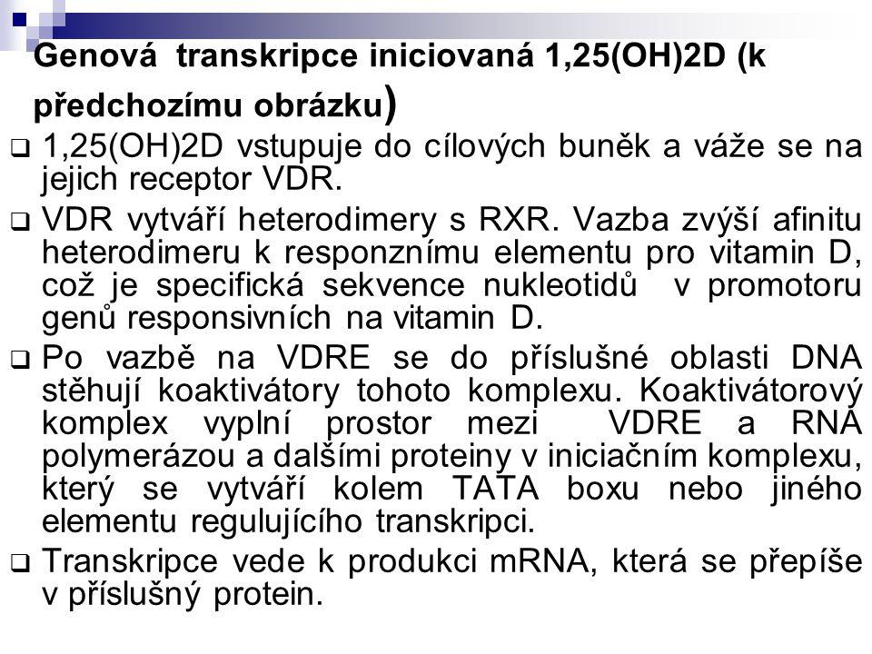 Genová transkripce iniciovaná 1,25(OH)2D (k předchozímu obrázku )  1,25(OH)2D vstupuje do cílových buněk a váže se na jejich receptor VDR.  VDR vytv