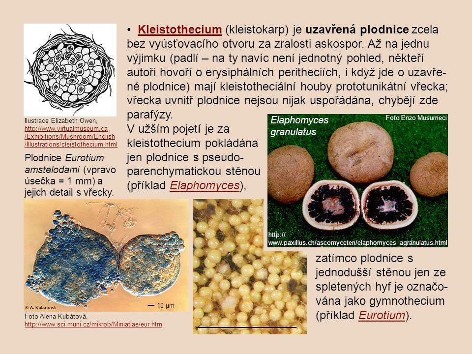 Kleistothecium (kleistokarp) je uzavřená plodnice zcela bez vyúsťovacího otvoru za zralosti askospor.