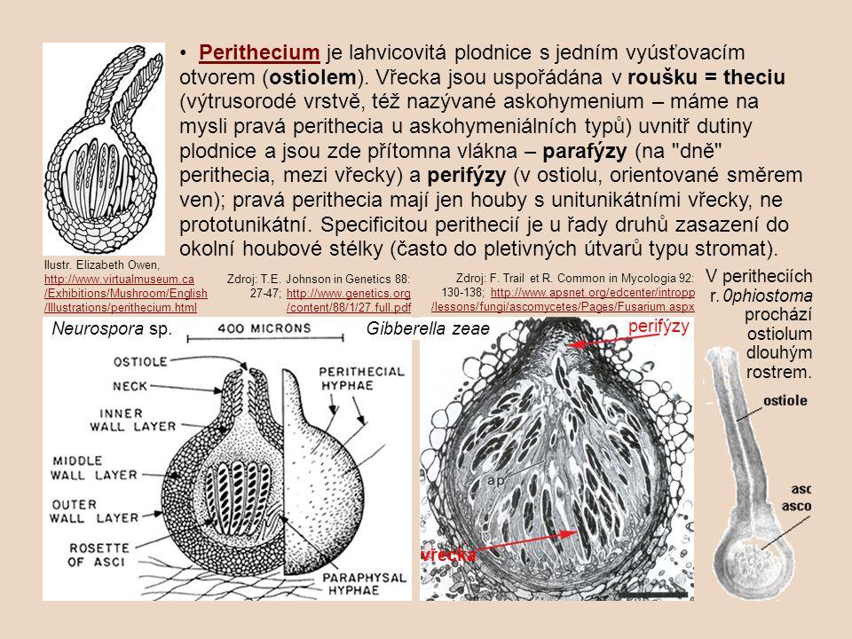 Perithecium je lahvicovitá plodnice s jedním vyúsťovacím otvorem (ostiolem).