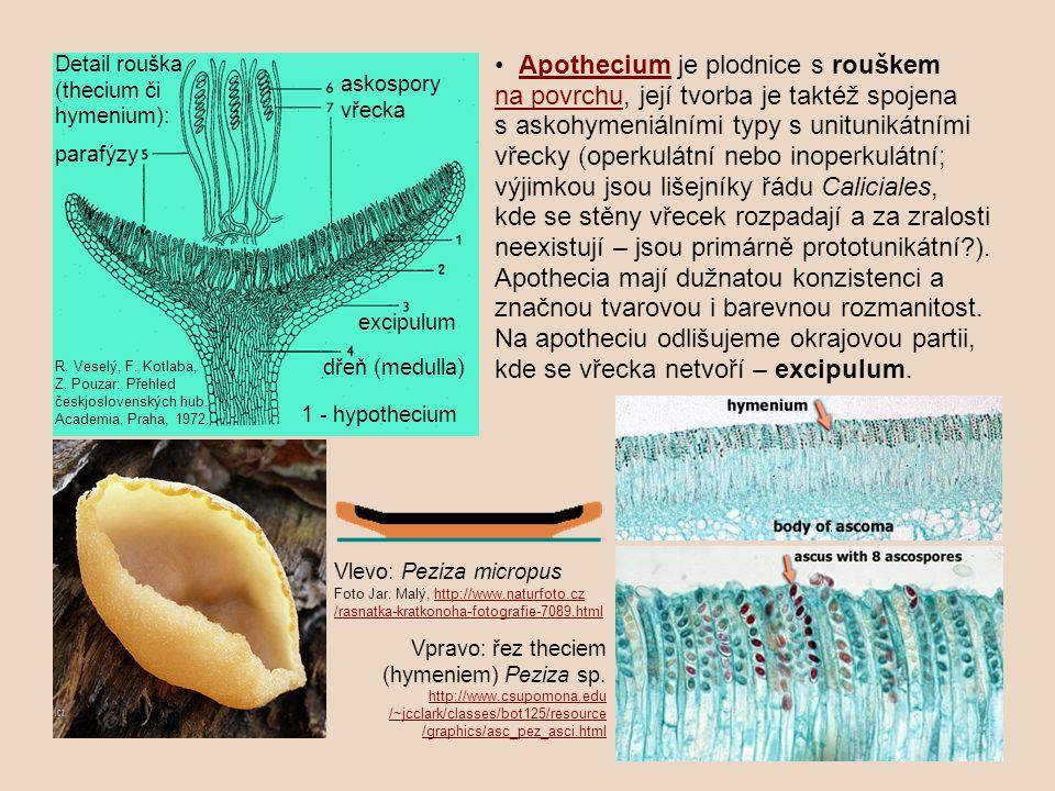 Apothecium je plodnice s rouškem na povrchu, její tvorba je taktéž spojena s askohymeniálními typy s unitunikátními vřecky (operkulátní nebo inoperkulátní; výjimkou jsou lišejníky řádu Caliciales, kde se stěny vřecek rozpadají a za zralosti neexistují – jsou primárně prototunikátní?).