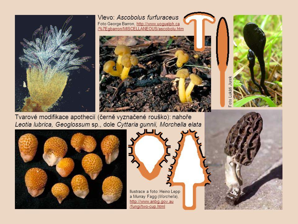Ilustrace a foto: Heino Lepp a Murray Fagg (Morchella), http://www.anbg.gov.au http://www.anbg.gov.au /fungi/two-cup.html Tvarové modifikace apothecií (černě vyznačené rouško): nahoře Leotia lubrica, Geoglossum sp., dole Cyttaria gunnii, Morchella elata Vlevo: Ascobolus furfuraceus Foto George Barron, http://www.uoguelph.cahttp://www.uoguelph.ca /%7Egbarron/MISCELLANEOUS/ascobolu.htm Foto Lukáš Jurek